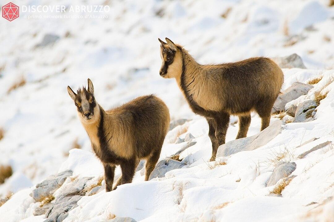 Wildlife Camosciod'abruzzo Discover Abruzzo Nature 7