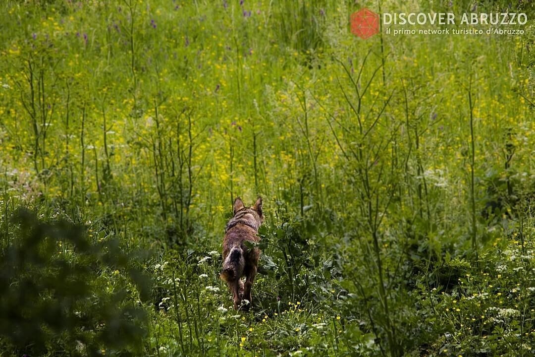 Wildlife Lupo Discover Abruzzo Wolf Appennino Nature 4