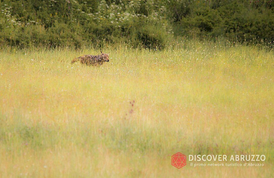 Wildlife Lupo Discover Abruzzo Wolf Appennino Nature 5