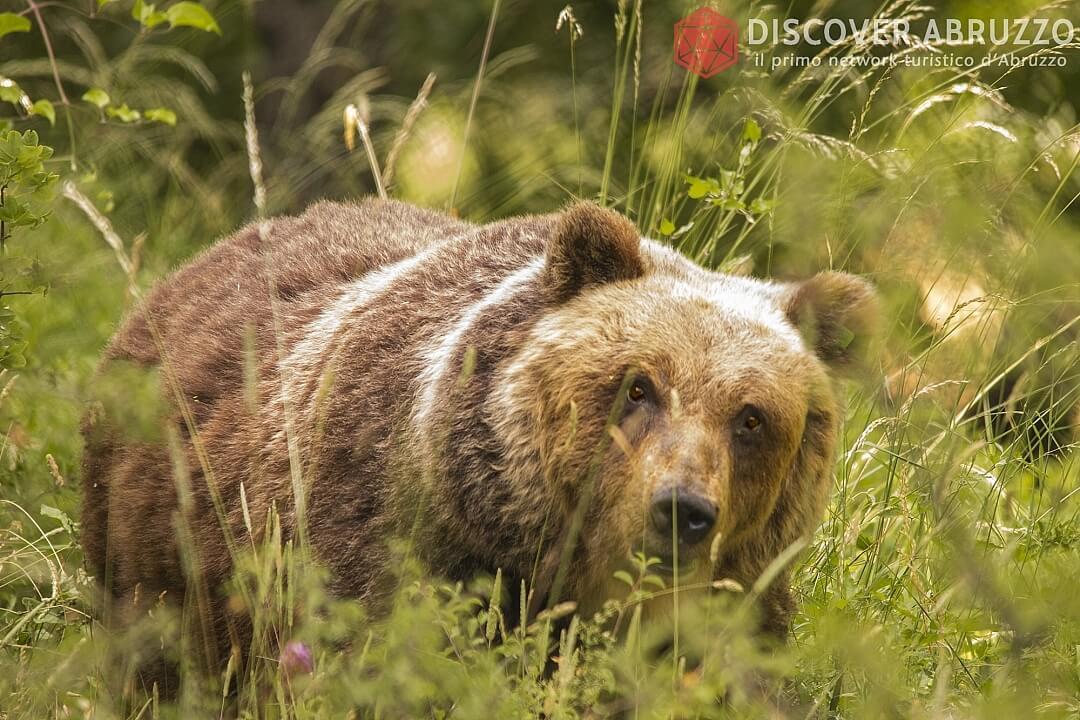 Wildlife Orsomarsicano Discover Abruzzo Nature Ours 6