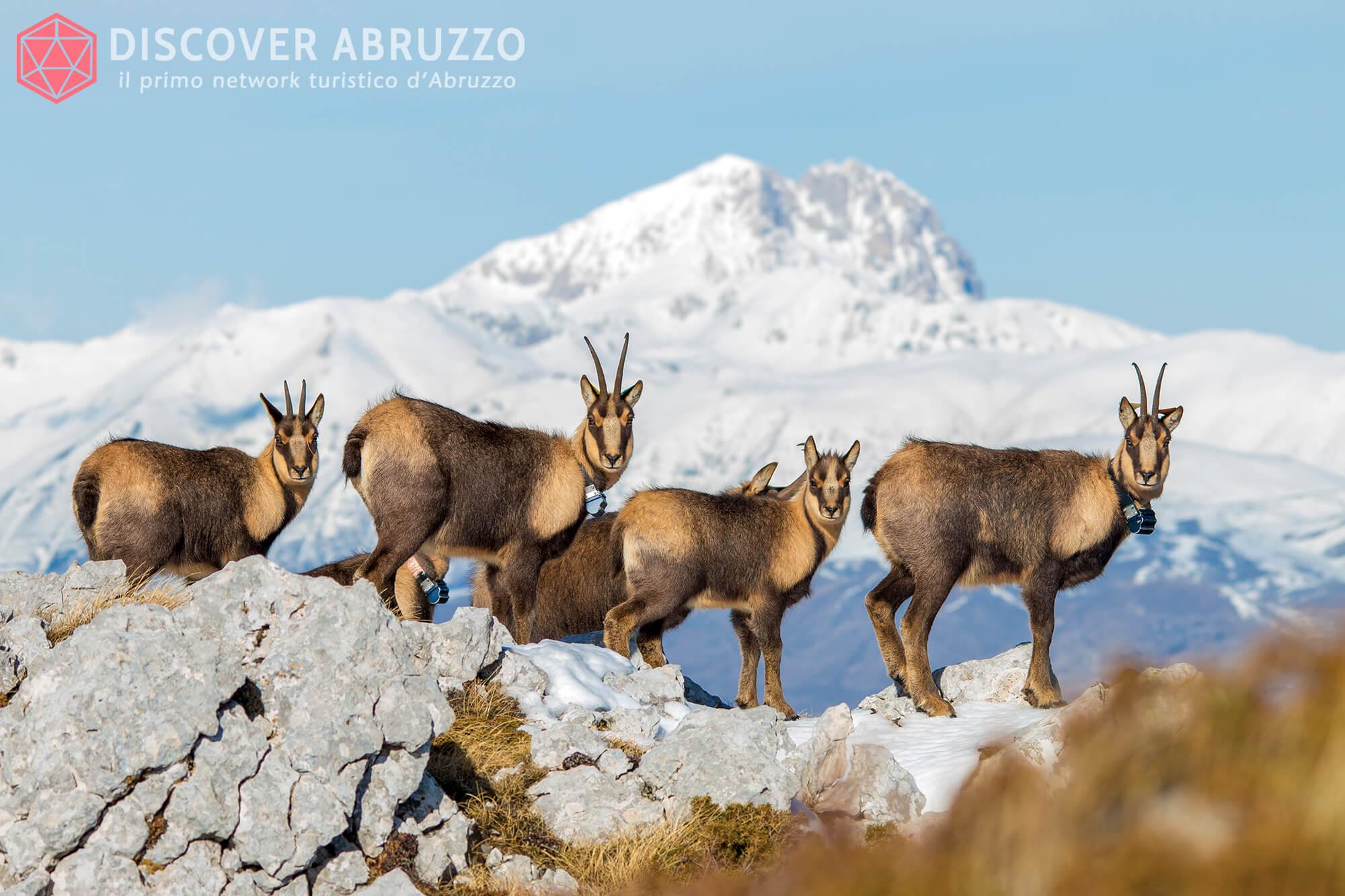 Wildlife Camosciod'abruzzo Discover Abruzzo Nature 3