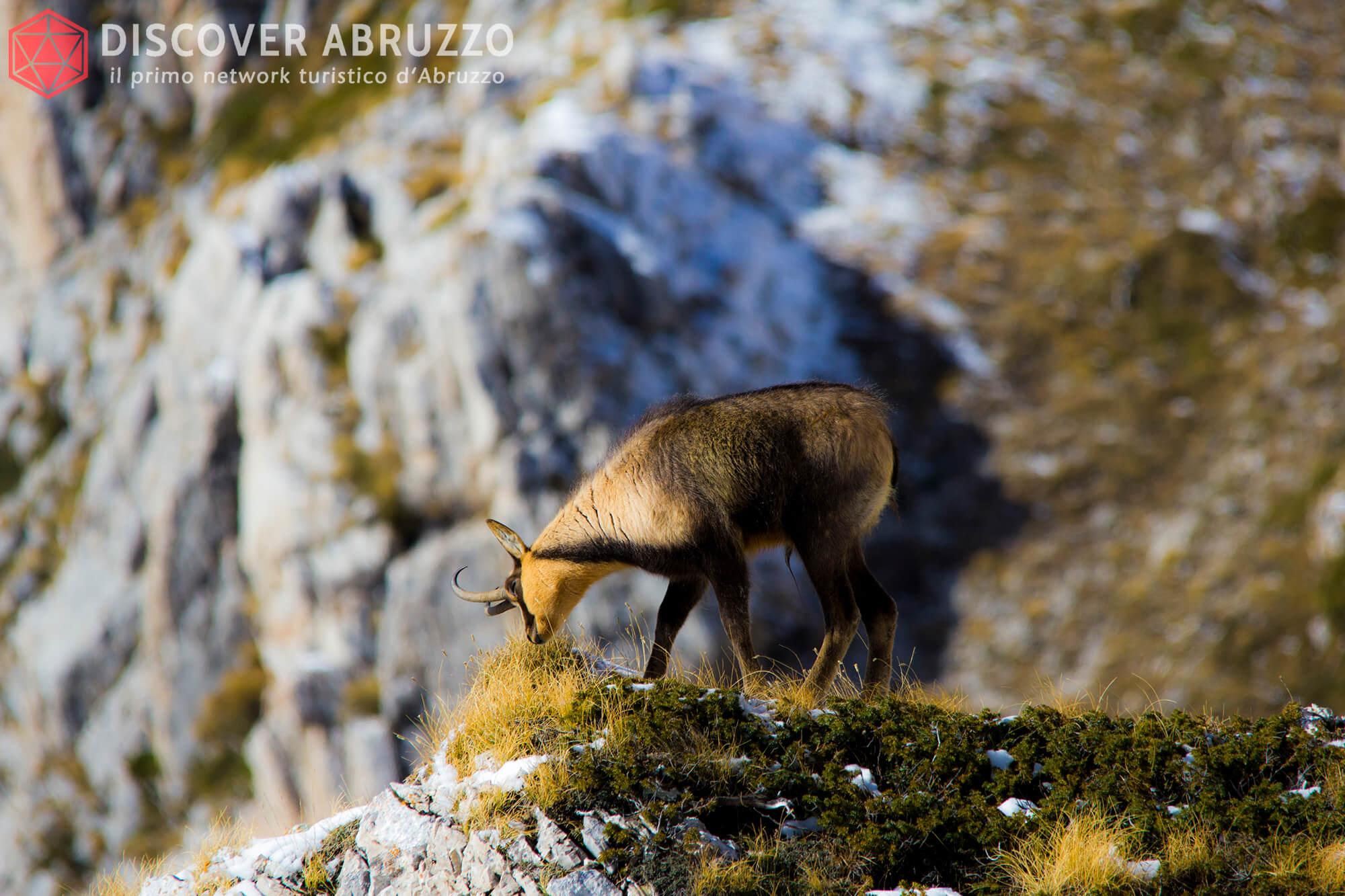 Wildlife Camosciod'abruzzo Discover Abruzzo Nature 4