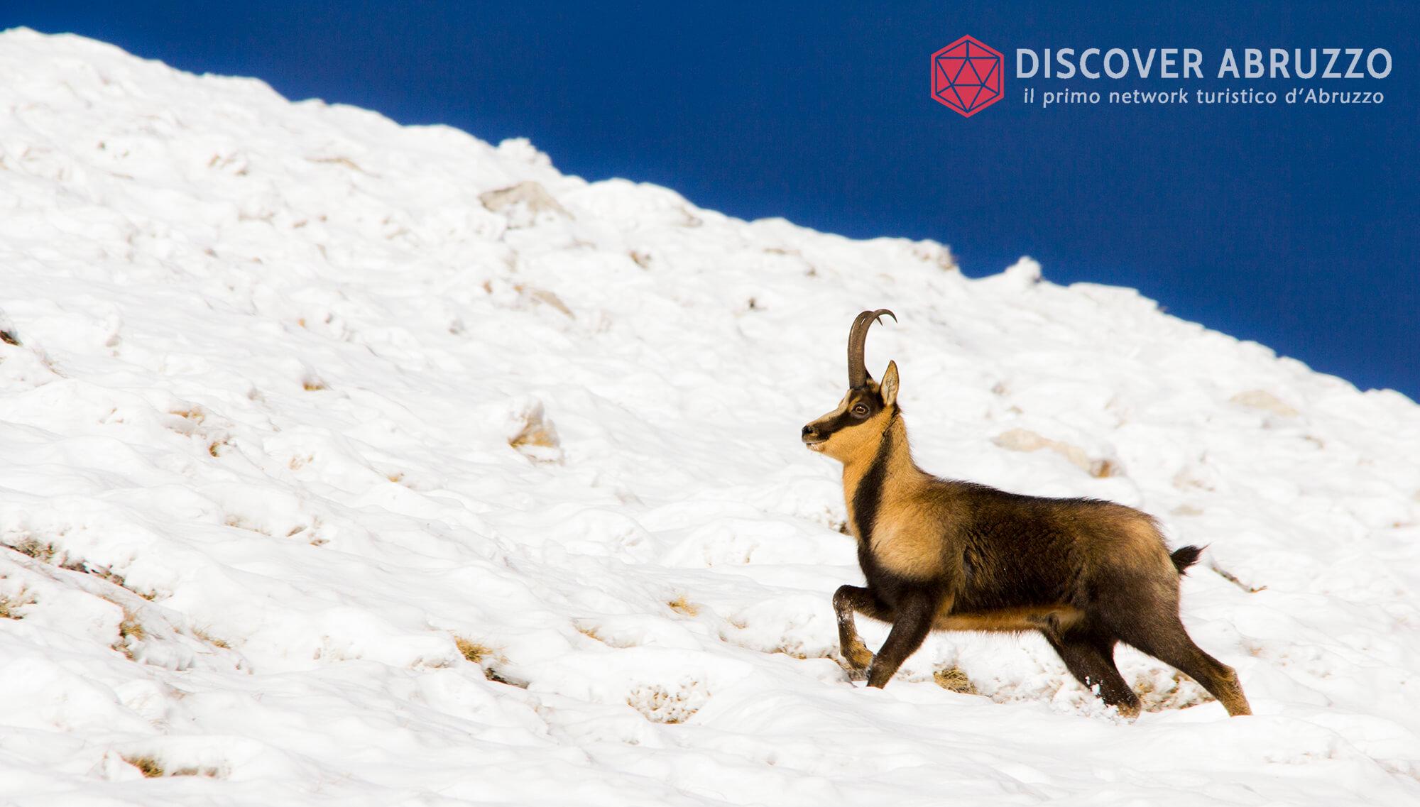 Wildlife Camosciod'abruzzo Discover Abruzzo Nature 5