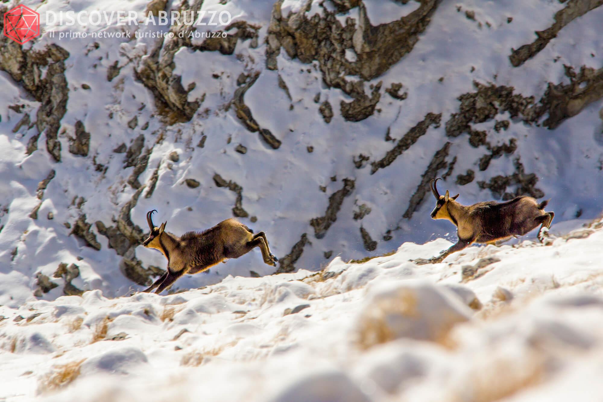 Wildlife Camosciod'abruzzo Discover Abruzzo Nature 6