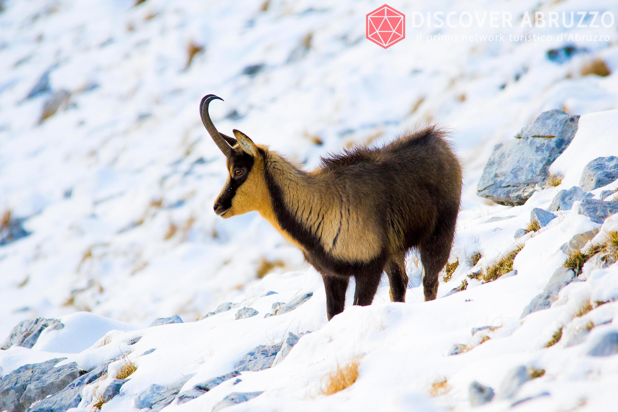 Wildlife Camosciod'abruzzo Discover Abruzzo Nature 8