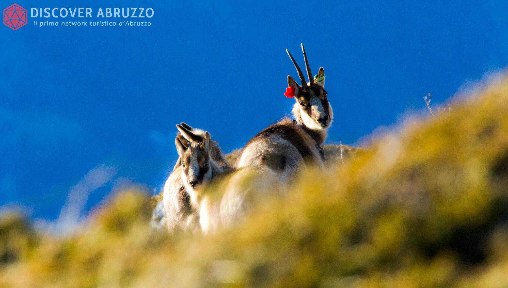 Wildlife Camosciod'abruzzo Discover Abruzzo Nature 9