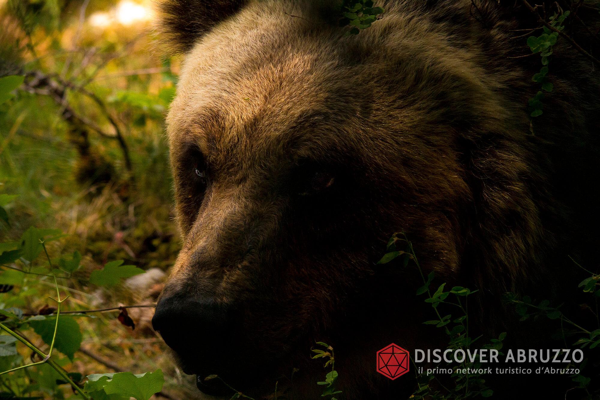 Wildlife Orsomarsicano Discover Abruzzo Nature Ours 1