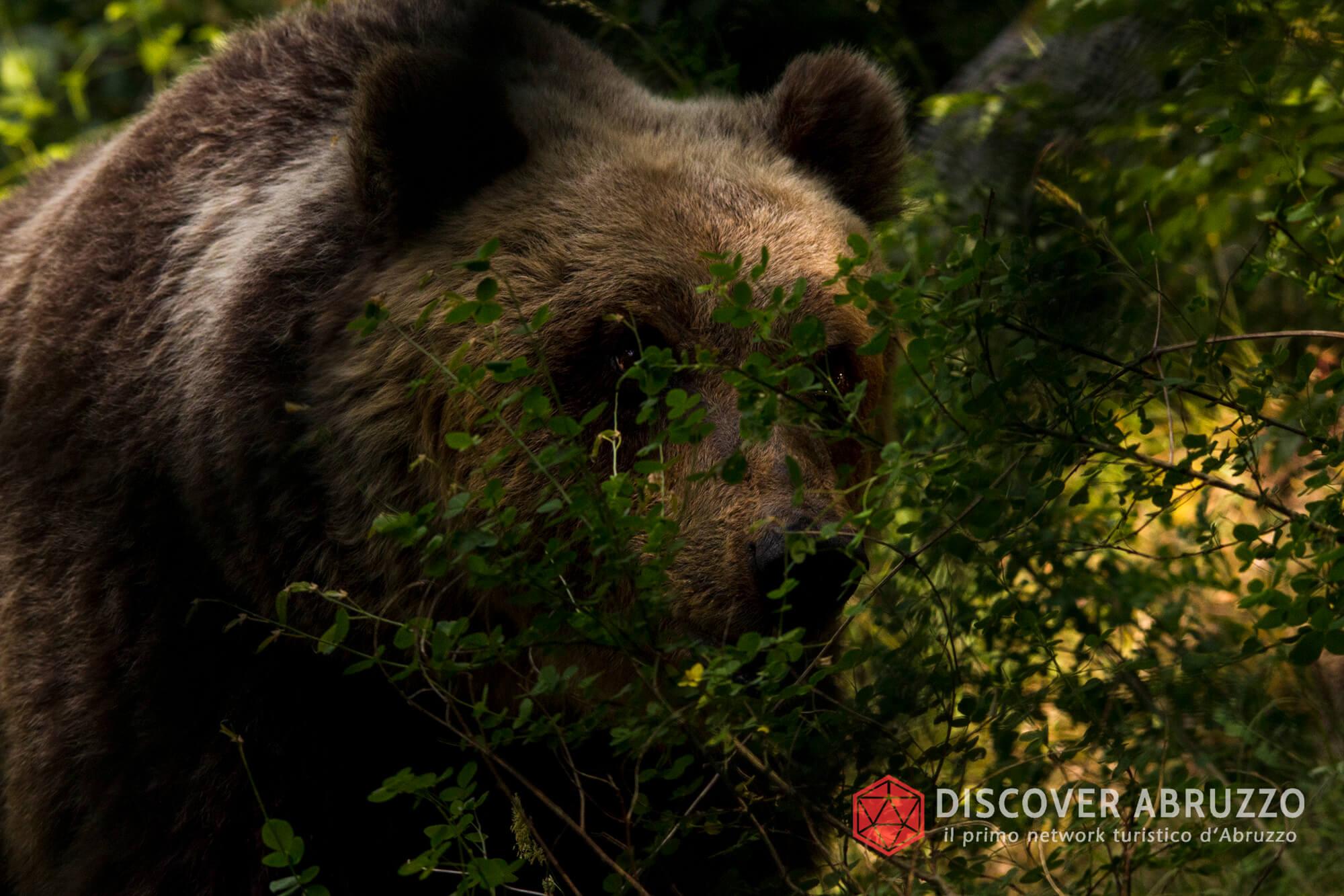 Wildlife Orsomarsicano Discover Abruzzo Nature Ours