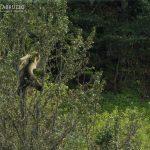 Orso Marsicano Parco D'abruzzo Borghi Pnalm