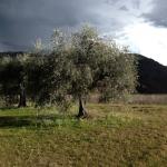 Ulivi Abruzzo Muli Trekking Carapelle