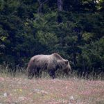 Weekend Orso Bearwathcing Ecotur Pnalm Ecorifugio