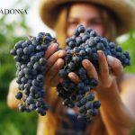 Sapori Vendemmia Abruzzo Cataldi Madonna Enogastronomia Vino Escursione